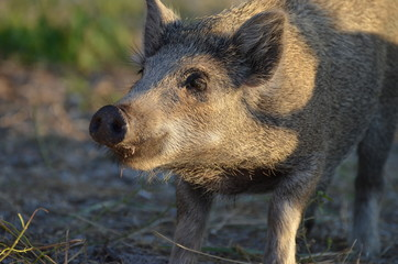 Wild hog looking into the distance ,photo