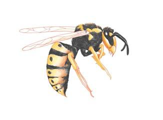 Gemeine Wespe (Vespula vulgaris), Illustration von Kathrin Schwertner, Freisteller, freigestellt