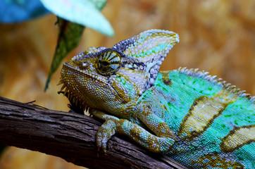 Close-up portrait of blue color male iguana,photo