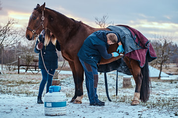 Veterinarian treating a brown purebred horse, papillomas removal procedure using cryodestruction, in an outdoor ranch
