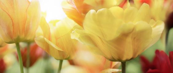 Fotoväggar - tulpen gelb rot licht strahlen