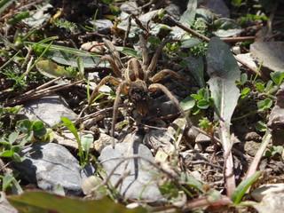 Jadowity pająk w górach