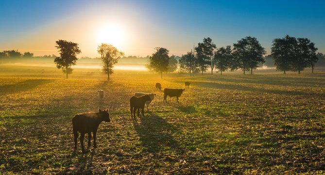 Cows in a Cornfield