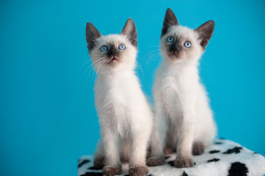 Two  blue-eyed Siamese kitten on a blue background.