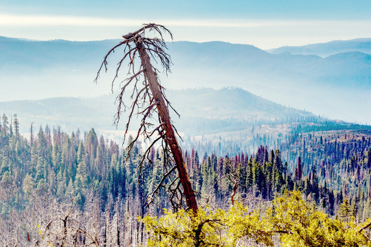 Dead tree Yosemite National Park