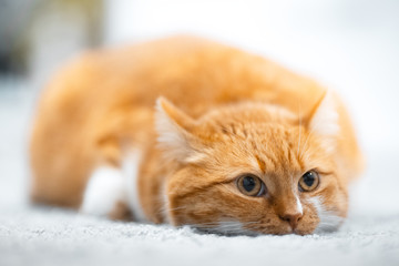 Portrait of cute red white cat lying on the floor.