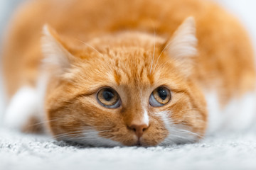 Close-up portrait of cute red white cat lying on the floor.