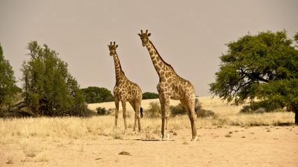 giraffes in namib desert