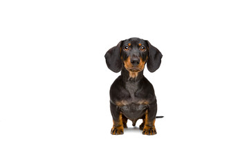 small young dachshund