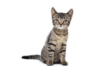 european shorthaired kitten