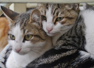 Zwei kuschelige Hauskatzen