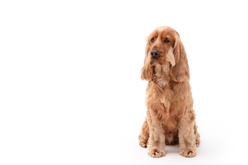 A golden ginger Cocker Spaniel dog isolated on white background