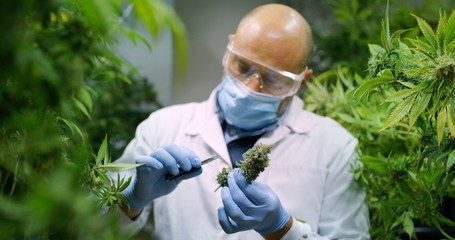 Portrait of scientist with mask, glasses and gloves checking hemp plants in a greenhouse. Concept of herbal alternative medicine, cbd oil, pharmaceptical industry