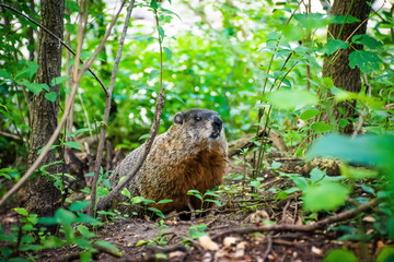 Beaver staying in the green grass and bushes and looking ahead