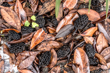 magnolia seeds and leaves