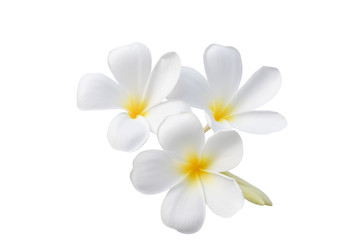 beautiful white plumeria flowers isolated on White background.clipping path
