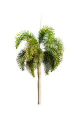 Palm tree Ornamental plants  beautiful on white background