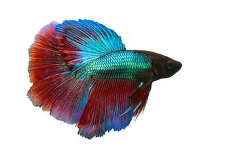 the beauty betta fish