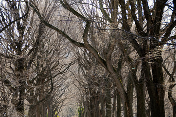 A dark canopy of leafless branches from rows of hibernating trees in winter at a park with buildings beyond it.