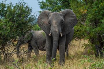 Wilder Afrikanischer Elefant im Kruger National Park
