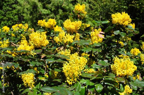 Ilex Aquifolium Holly English Holly European Holly Or