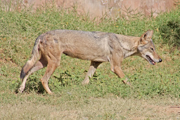 indian wolf taken in the Jaipur Zoo, India