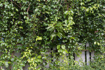 Fresh tropical  green  leaves  plant climber over metal  fence background