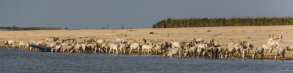 Foto op Canvas Schapen cattle drinking along the Irrawaddy River near Mandalay