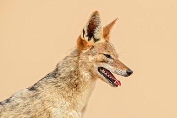 Wall Mural - Black-backed Jackal - Canis mesomelas, beautiful young jackal posting in the sand of Namib desert, Walviss Bay, Namibia