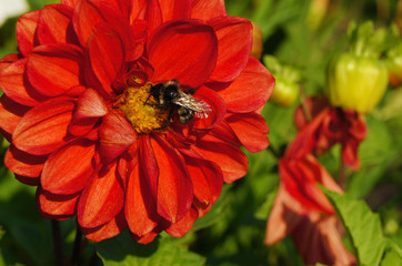 Bee collecting pollen on a red Dahlia flower