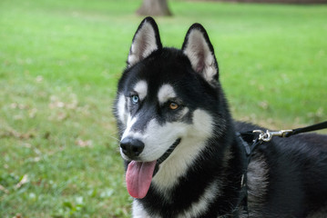 Adorable heterochromian siberian husky dog at walk in Central Park, New York City. Usa