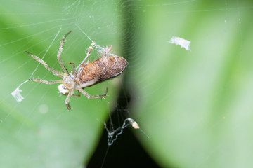 Macro spiders are laying eggs