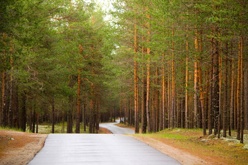 An empty asphalt road bends and passes through a beautiful pine forest. Many tall slender pines. Kocheg, Komi Republic, Russia