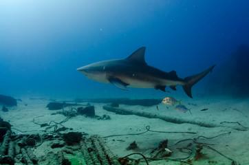 Bull Shark (Carcharhinus leucas). reefs of the Sea of Cortez, Pacific ocean. Cabo Pulmo, Baja California Sur, Mexico. The world's aquarium.