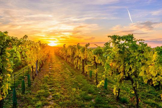 Wineyard in Lower Austria