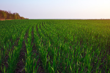 A green field during sunset as a background.