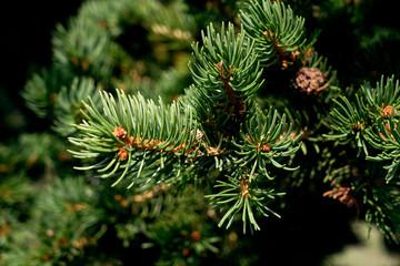 Picea abies Pachyphylla - gemeine Fichte