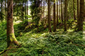 alpine forest, beech, spruce