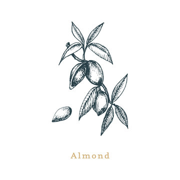 Botanical illustration of almond branch. Seed sketch in vector. Drawn organic food, eco plant in engraving style.