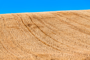 Summer Day at Stubbly Field / Golden harvested hilly field of grain, short cut stubbles, vehicle tracks uphill, blue sky background (copy space)