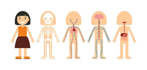 Vector illustration of body anatomy. Human skeleton, circulatory system, nervous system and digestive system. For teaching aid, animation, explainer, infographics. Option 1