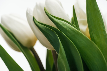 close up of white tulip flowers isolated on white