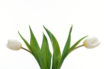 two white tulip flowers isolated on white