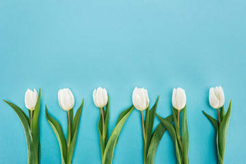 top view of row of white tulip flowers isolated on blue