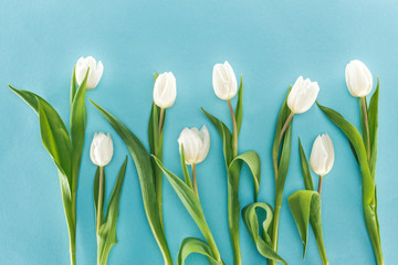 top view of white tulip flowers isolated on blue background