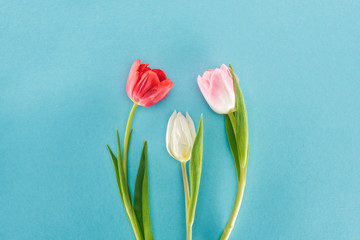 top view of white, pink and red spring tulips isolated on blue