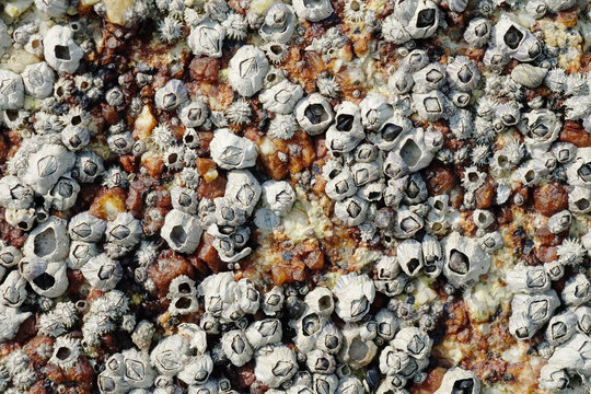 Close Up Shot of Barnacles on a Rock