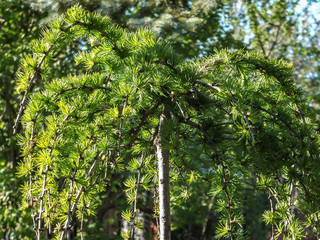 Bright green fluffy branches of larch tree Larix decidua Pendula in the sunlight. The atmosphere of delight and freshness of the summer day. Natural beauty of elegant larch tree twig for any design