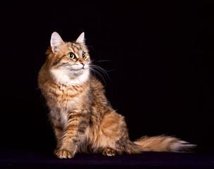 Fluffy siberian cat sitting on  black background