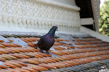 Pigeon standing on the clay tile roof.